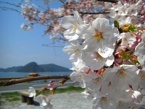 周防大島の桜満開
