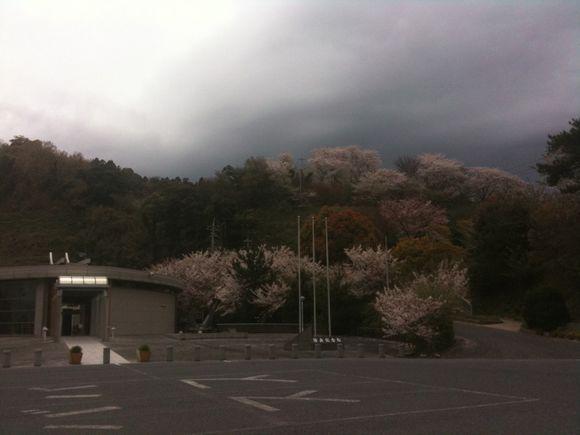 曇り空ですが陸奥展望台は桜満開です。