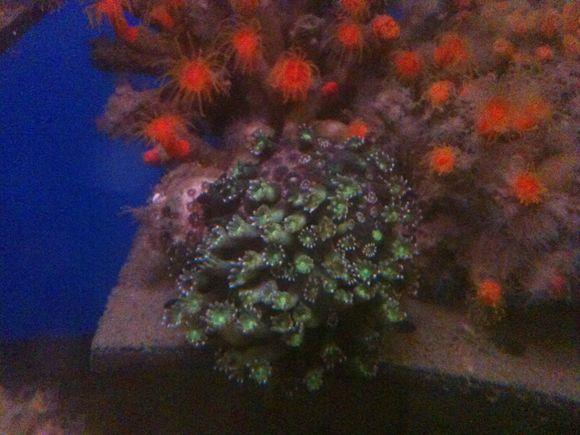 なぎさ水族館にニホンアワサンゴが入部しました!