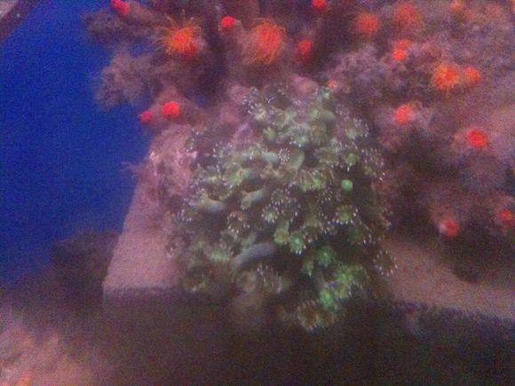 なぎさ水族館のアワサンゴ元気に咲いています!